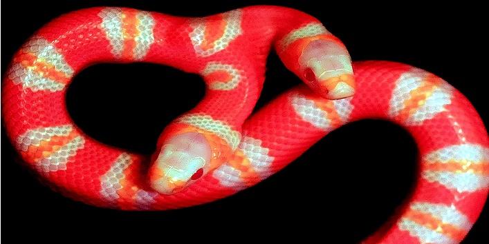 two Headed albino snake