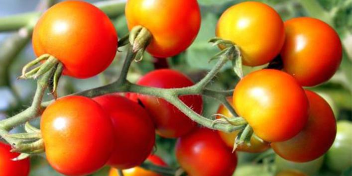 Organicfarmtomato