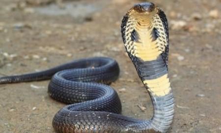 snake sacrificed life to stop burglary