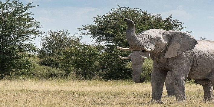 elephant two trunks1