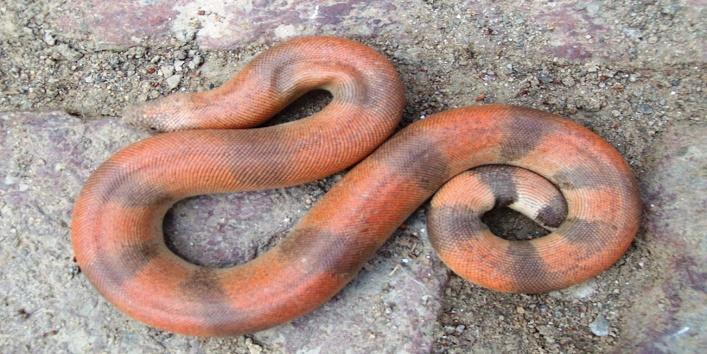 sand boa snake2