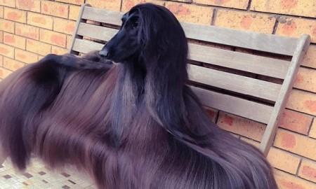 sydney-afghan-dog