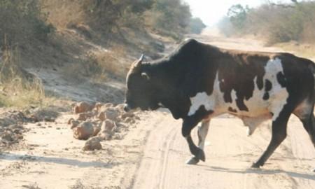 men-guard-the-cows