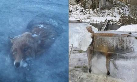 fox-frozen-ice