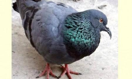 rare-pigeon-found-in-uttarakhand