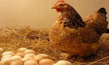 मुर्गी