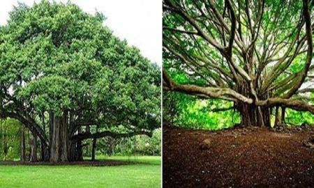 खास पेड़