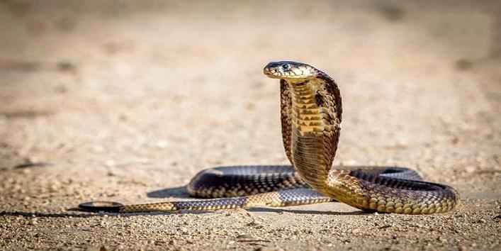 कोबरा सांप