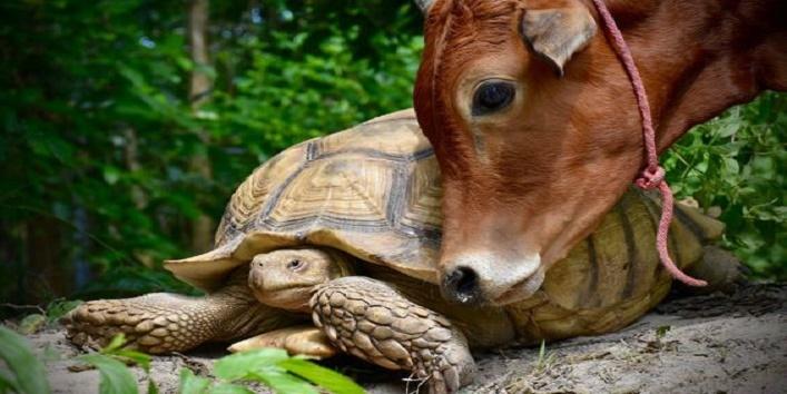कछुएं और गाय की दोस्ती