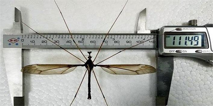 दुनिया का सबसे बड़ा मच्छर