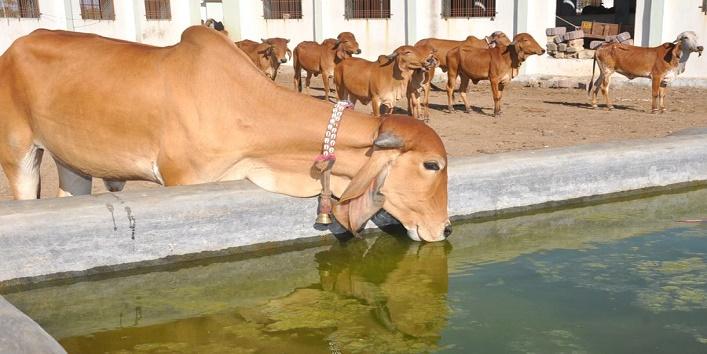 गायों ने बचाई बच्चे की जान