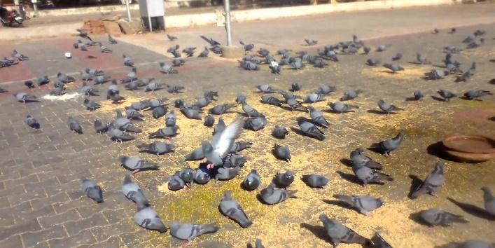 पक्षियों को दाना डालना