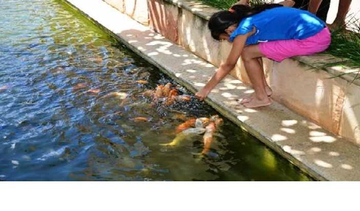 मछली को आटा खिलाना