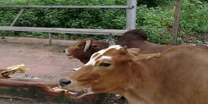 गाय को दें रोटी