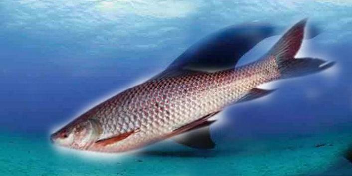 क्यों ख़ास है यह मछली